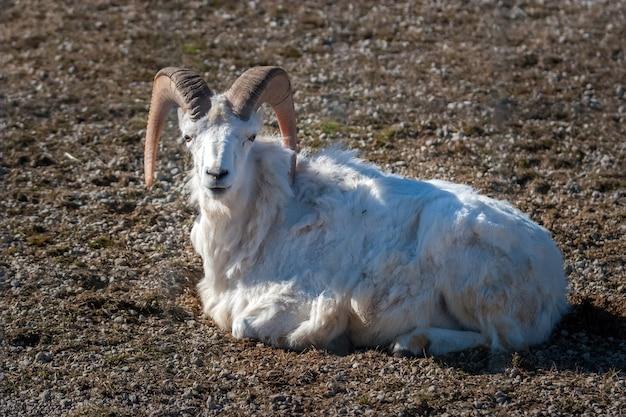 巨大な渦巻く角と白い髪の成ヤギが休んでいます。カメラを見てください。