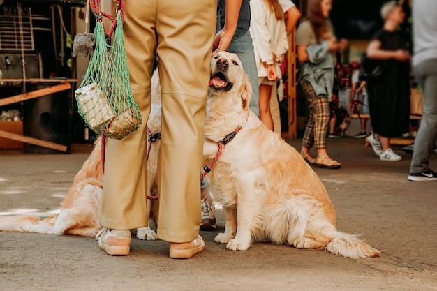 성체 골든 리트리버가 주인의 다리에 껴안고 있습니다. 행복한 다정한 애완동물