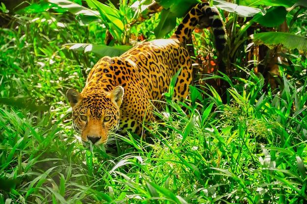 草の中で立ち往生している大人のジャガー