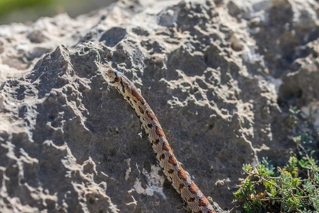 성인 표범 뱀 또는 유럽 쥐뱀, zamenis situla, 몰타의 바위에 미끄러져