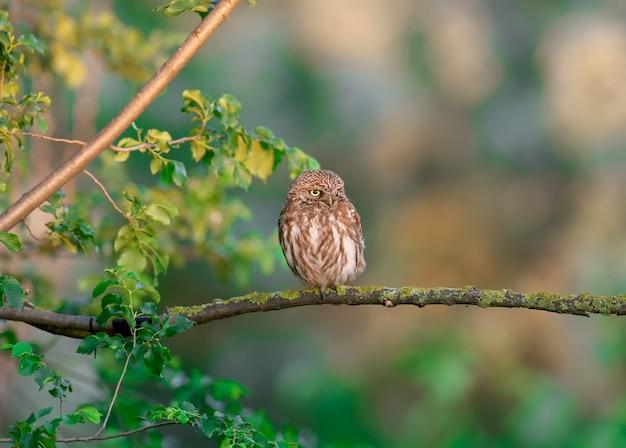 성숙한 작은 올빼미(athene noctua)는 부드러운 아침 햇살 아래 마른 나뭇가지에 앉아 있다