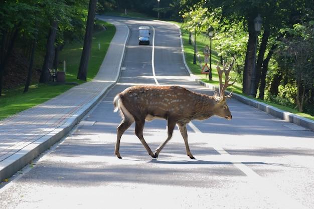 成鹿の雄鹿が秋の公園を歩き、アスファルト道路を横断します。