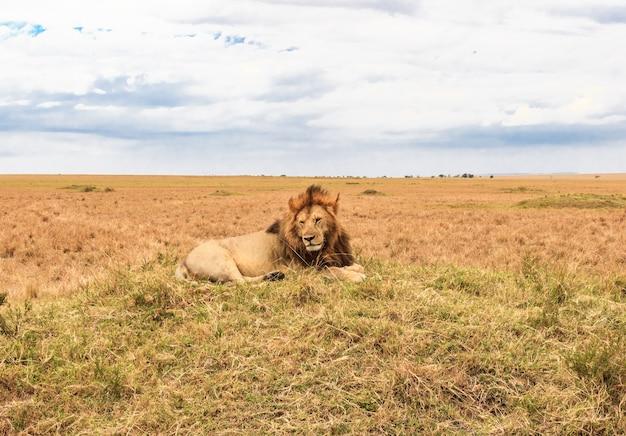 アフリカのライオンが丘の上で休んでいるマサイマラケニアアフリカ