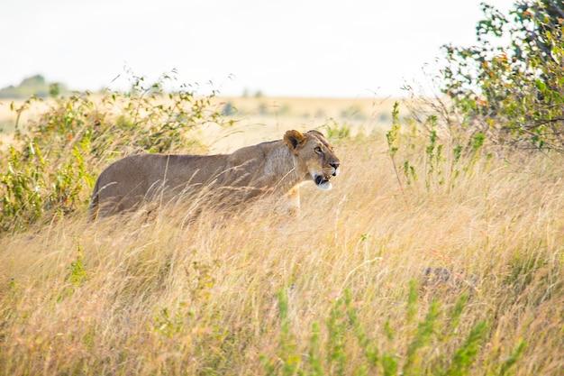Африканская львица ищет добычу в национальном парке масаи-мара, диких животных в саванне. кения