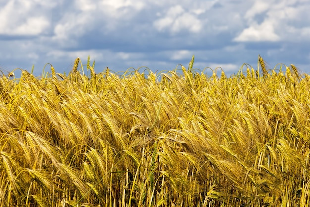 穀物、小麦、ライ麦の収穫が行われる農地