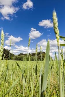 Сельскохозяйственное поле, на котором посевы зерновых