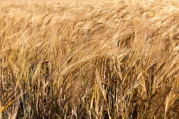 Сельскохозяйственное поле, на котором растут сухие оранжевые и желтые злаки. осенний сезон