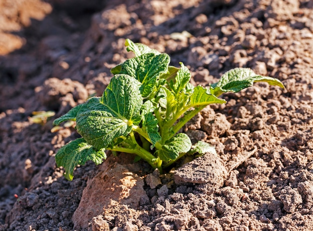 Сельскохозяйственное поле, на котором выращивают картофель
