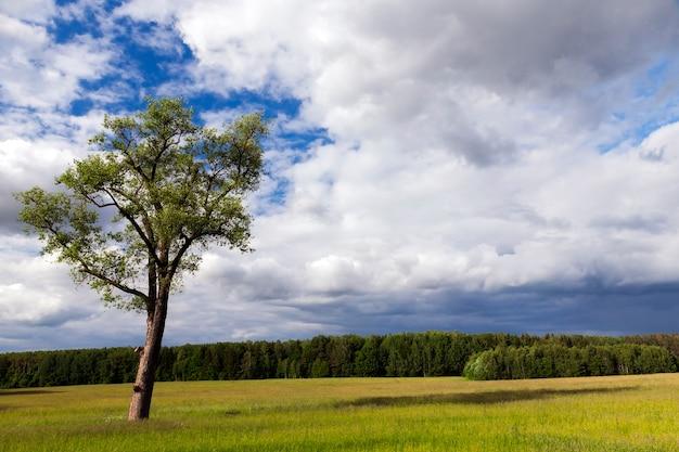 Сельскохозяйственное поле, на котором растет одинокое дерево. летний сезон, пасмурная погода. снимок сделан крупным планом, фокус на дереве. на заднем плане небо с облаками и лесом