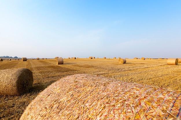 Сельскохозяйственное поле, на котором лежат стога соломы после сбора урожая, голубое небо.