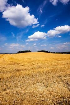익은 밀이 수확 된 농경지