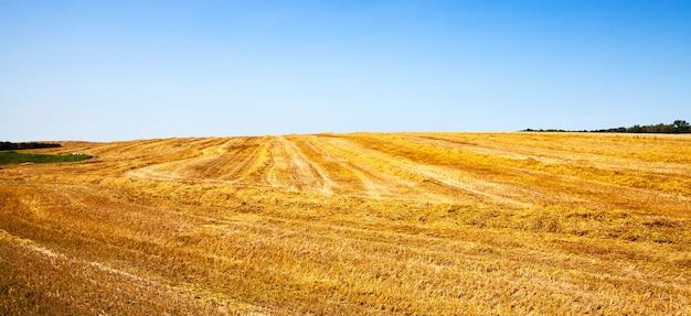 Сельскохозяйственное поле, на котором лежит очищенная пшеница, объединенная в несколько рядов.