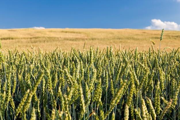 未熟な小麦の穀物が播種された農地は、小麦や他の穀物の作物を生産するために多数の植物を植えています