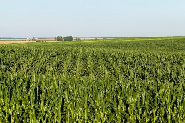 Сельскохозяйственное поле, на котором растет большое количество зеленой незрелой кукурузы для получения большого урожая зерновых.