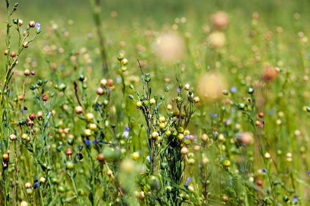 Сельскохозяйственное поле, где выращивают лен, он зеленеет перед уборкой льна для текстиля.