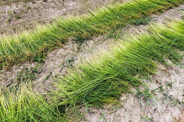 Сельскохозяйственное поле, где выращивают лен