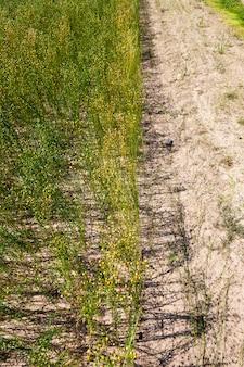 Сельскохозяйственное поле, на котором созревает лен