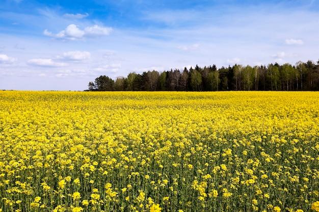 黄色いカノーラが咲く農地。春