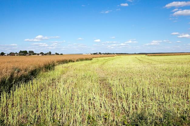 Сельскохозяйственное поле, на котором проводился сбор рапса, лето,