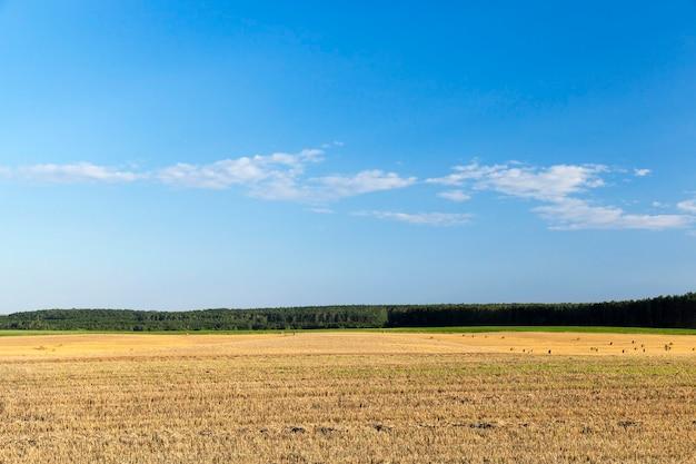 곡물, 밀을 수확 한 농업 분야. 들판에는 사용하지 않은 짚이 남아 있었다. 백그라운드에서 푸른 하늘.