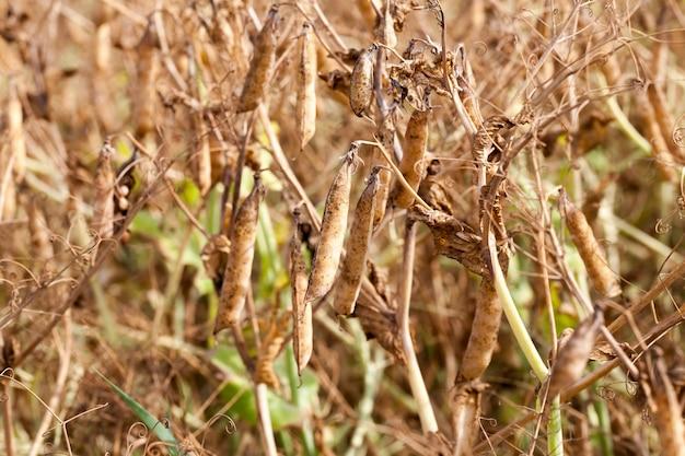 Сельскохозяйственное поле со спелым урожаем желтого гороха, растения гороха пожелтели и засохли и готовы к уборке.