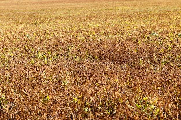 エンドウ豆の熟した作物のある農地