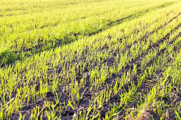 시리얼 작물의 녹색 콩나물이있는 농업 분야가 햇빛에 비추어집니다.