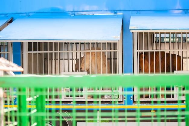Белый лев-альбинос и обыкновенный красный лев за решеткой в отдельных клетках в передвижном передвижном зоопарке или цирке.