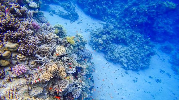 흰색 점이 있는 놀랍도록 아름다운 짙은 파란색 물고기는 홍해의 가장 아름다운 산호 옆에서 헤엄칩니다.