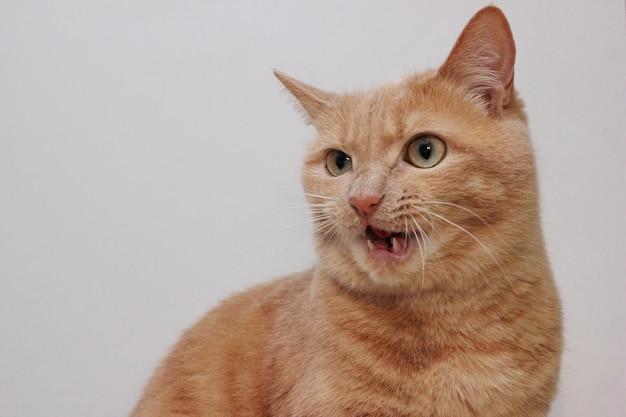 입을 벌리고 있는 화난 빨간 고양이. 위험한 애완동물입니다.