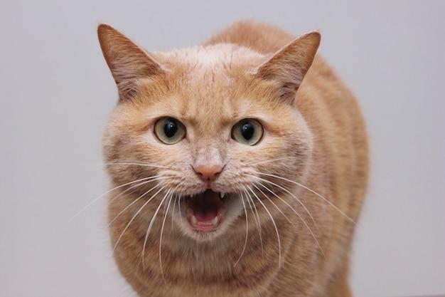 입을 벌리고 이빨을 드러내고 카메라를 직접 쳐다보는 화난 빨간 고양이. 위험한 애완동물입니다. 동물의 광견병.