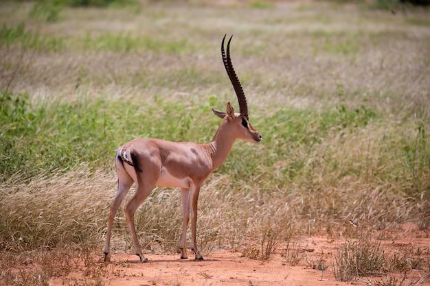 ケニアのサバンナの草原にあるカモシカ