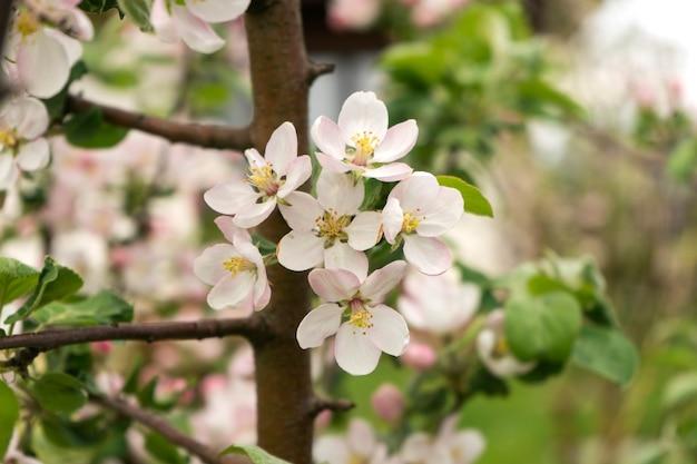 봄에는 사과 나무가 만개합니다