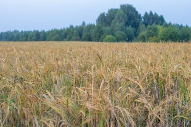 Колос пшеницы или ржи в поле. поле ржи в период уборки урожая.