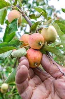 Пожилой садовник рассматривает созревающие плоды яблони