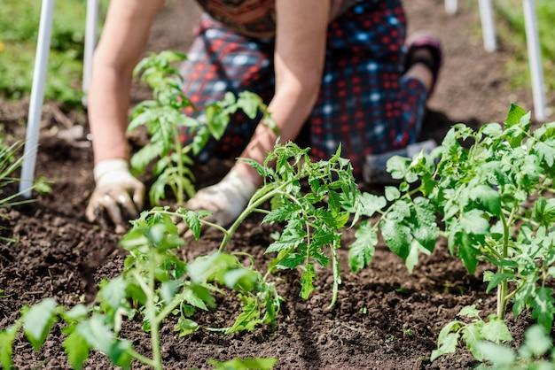 Пожилая женщина сажает рассаду томатов в своем огороде в деревне.