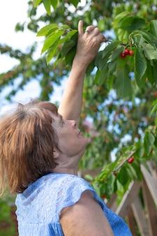 나이든 여성은 정원에서 여름에 잘 익은 체리를 따고 있습니다. 은퇴 후 성장하는 과일 나무.
