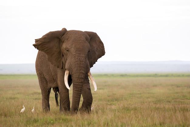 Слон в саванне национального парка