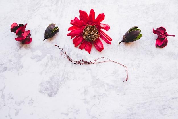 Высокий вид сушеных красный цветок герберы с стручок на белом фоне