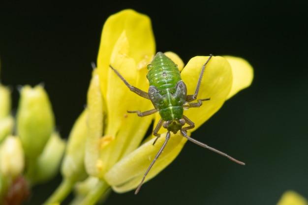 숲에서 밀 꽃에 녹색 악취 버그