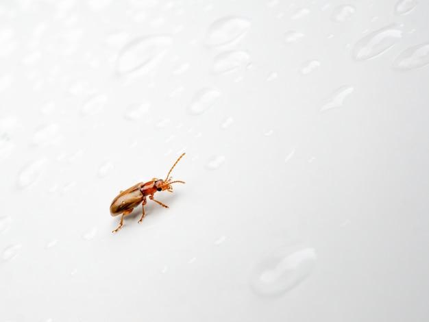 透明な水滴の中で、光沢のある白い表面を虫の茶色のカブトムシが這う。