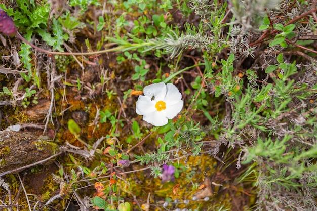 Насекомое сидит на белом цветке растения под названием мавританский ягз черной степи или черной каменной розы.
