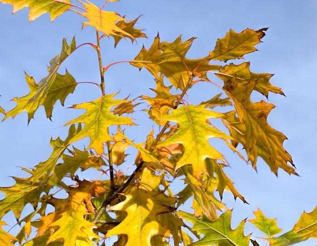Дуб, который осенью меняет цвет на ржавые деревья, крупный план одиночного дуба с красно-желтой листвой, а также имеющий желтые оттенки