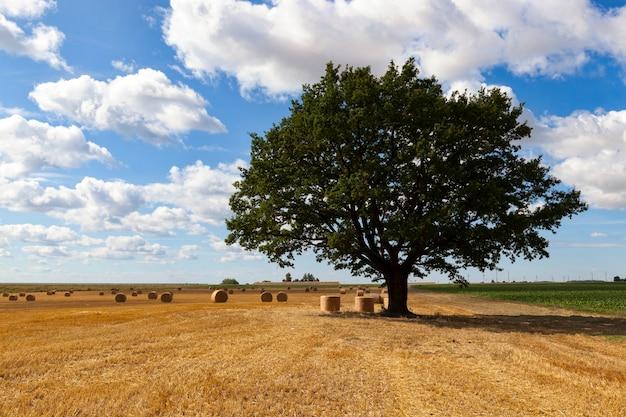 Дуб с зеленой листвой на сельскохозяйственном поле