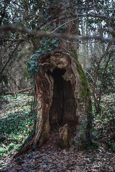スノードロップの最初の花に囲まれた巨大なくぼみのある古いブナの木。不思議な森の風景。