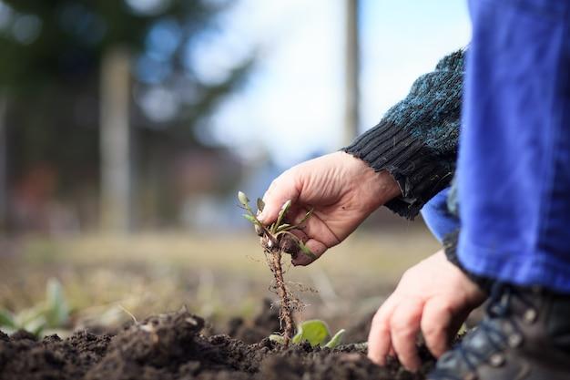彼の広大な植物園の雑草を引き抜くアクティブな先輩の古い手。清算;適切に行う;ハードワーク