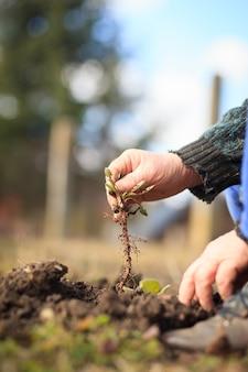彼の巨大な植物園の雑草を引き抜くアクティブな先輩の古い手は適切にやっています