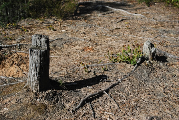 樹皮のない古い木の幹昆虫は漏れた幹をマークします