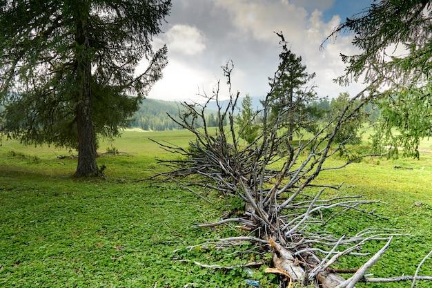 風に倒された枝が突き出た古い枯れた木が地面にあります。山の風景