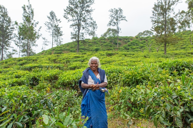 スリランカの茶畑の老婆がお茶を集める